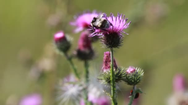 Thistle flower closup