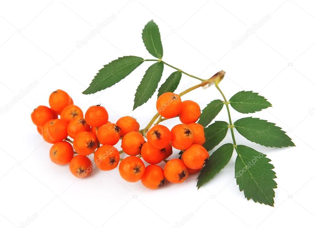 Bunch of red rowan berry