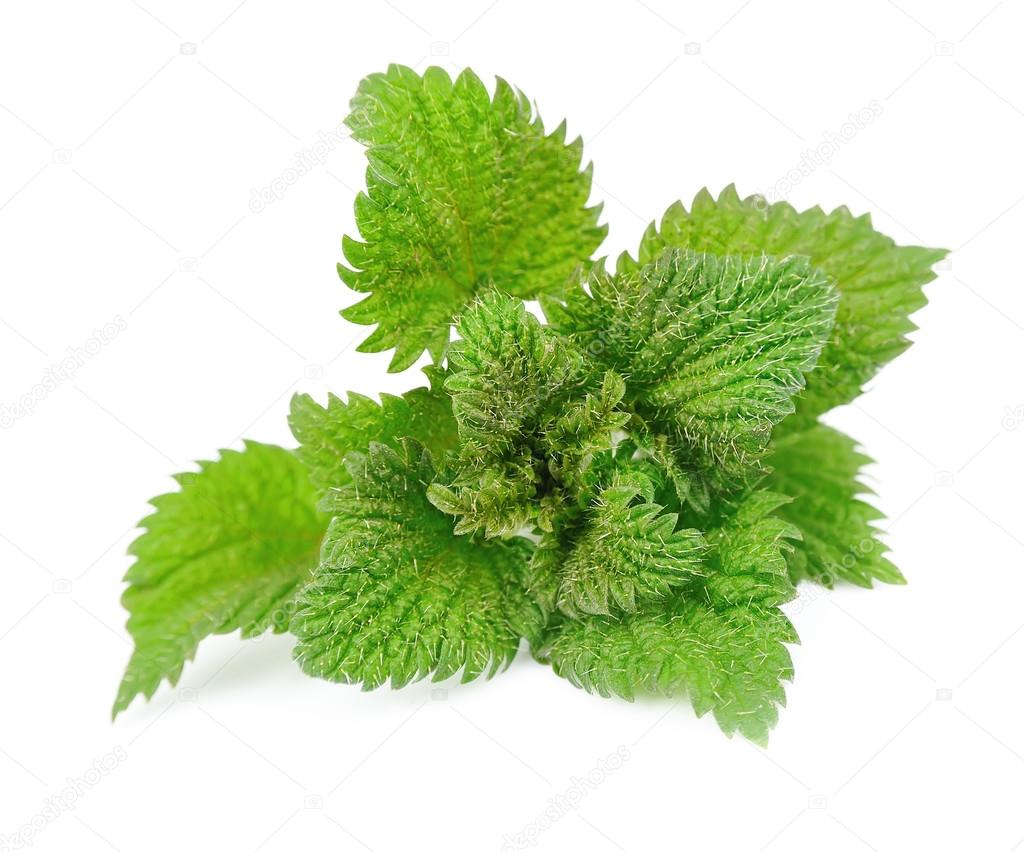Nettle herbs