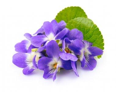 Violets flowers.  Spring flowers.