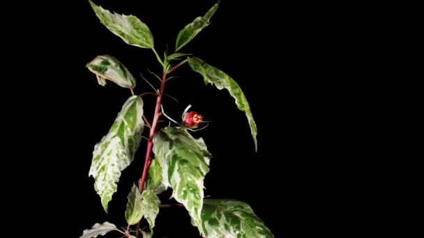 Blooming pink Hibiscus on a black background (Hibiscus Cooperi) (Time Lapse)