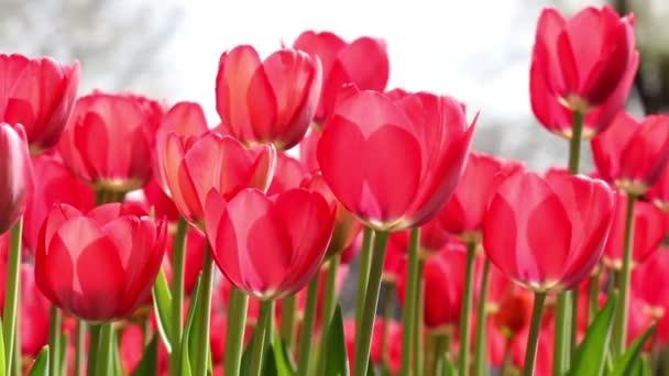 kvetoucí tulipány na černém pozadí
