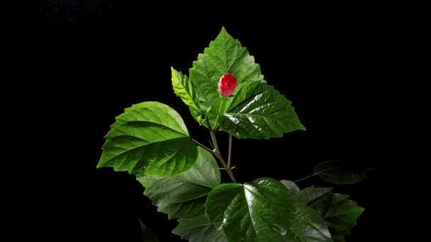 Blooming red Hibiscus on a black background (Hibiscus rosa-sinensis L.) (Time Lapse)