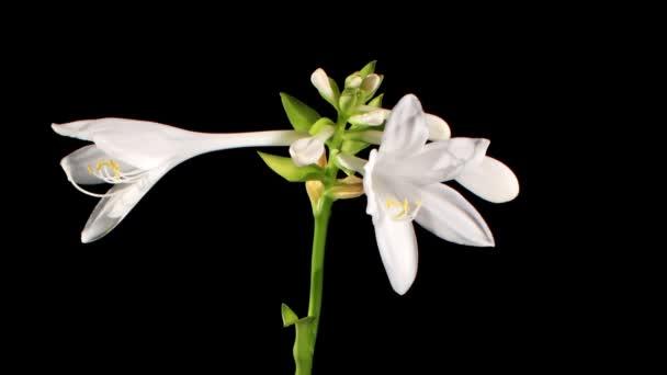 kvete bílými hosta na černém pozadí (Bohyška. bressingham blue), timelapse