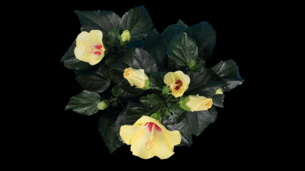 Blooming yellow Hibiscus flower buds ALPHA matte, (Hibiscus) (Time Lapse)