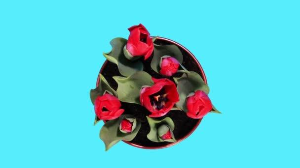 kvetoucí červené tulipány poupata alfa matný, timelapse