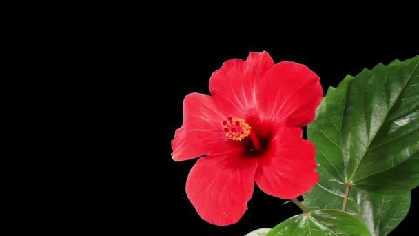 virágzó piros Hibiszkusz virág
