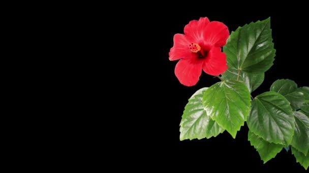 kvetoucí ibišek červený květ