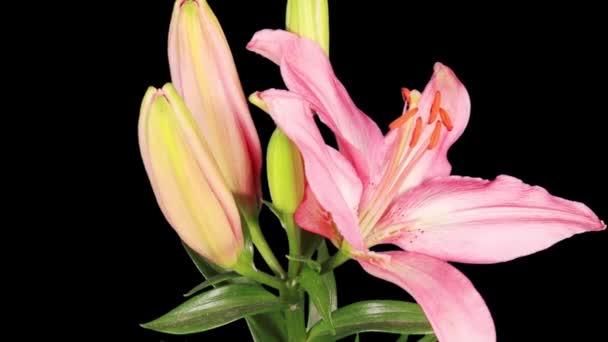kvetoucí poupata růžová lilie
