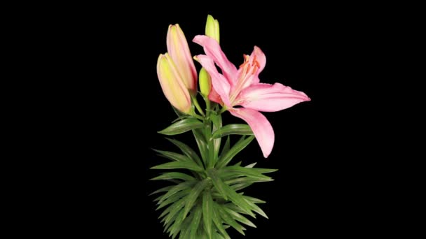Blooming pink lily flower buds