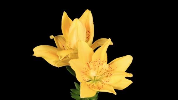kvete žlutými lily květina