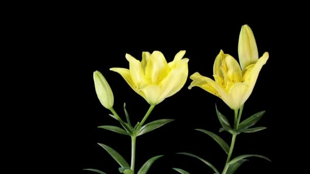lily rozkvetlých žlutých poupat alfa matný (lilium padesát padesát), timelapse