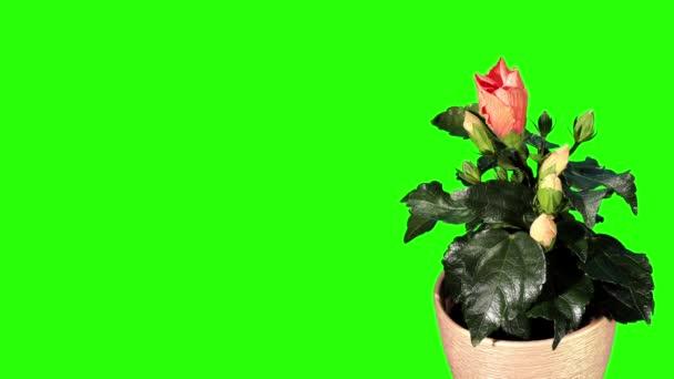 kvetoucí hibiscus oranžová poupata zelená obrazovka