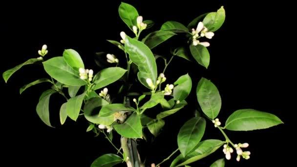 Citrónové květy na černém pozadí (Citrus limon L.) timelapse