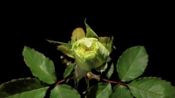 Florecen Rosas Verdes Capullos De Flores Sobre El Fondo Negro Full