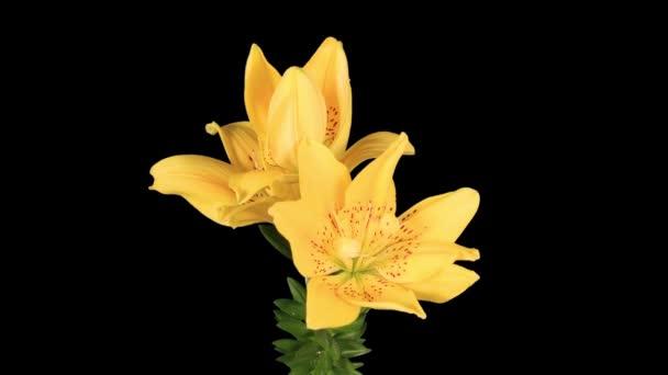 Žluté kvetoucí lilie na černém pozadí (L. prominet)