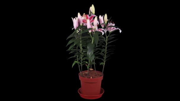 Blooming pink lily flower buds ALPHA matte, FULL HD. (Lilium Star Gazer)