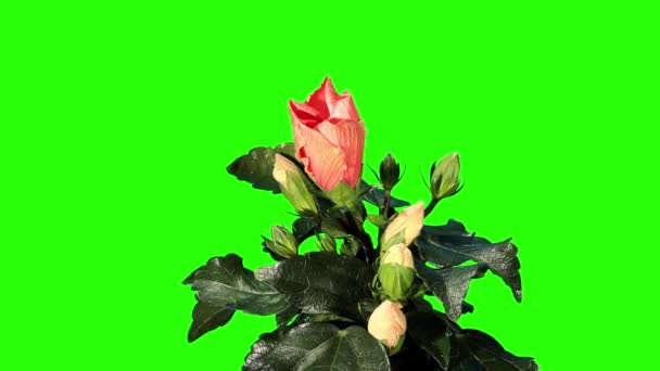 Blooming orange Hibiscus flower buds green screen, FULL HD. (Hibiscus Tahitian Orange Rainbow) (Time Lapse)