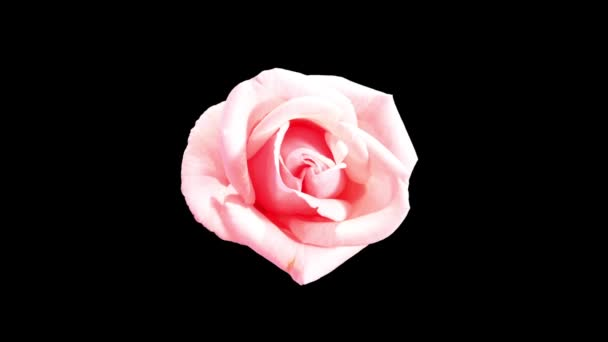 rozkvétají růžové růže poupata alfa matný, full hd. (růže růžová asiana), timelapse