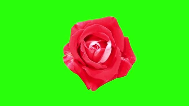 blühende rote Rosen Blütenknospen grüner Bildschirm, voll hd. (rosarote lateinische Dame), Zeitraffer