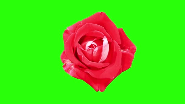 Vörös Rózsa zöld bimbó képernyő, teljes hd. (Rózsa latin hölgy), timelapse virágzó