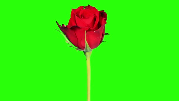 Blooming red roses flower buds green screen, FULL HD. (Rose Red Magic),  timelapse