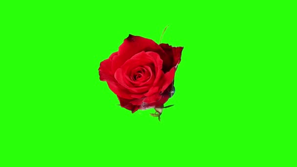 blühende rote Rosen Blütenknospen grüner Bildschirm, voll hd. (Rosenrote Magie), Zeitraffer