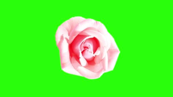 virágzó rózsaszín rózsa zöld bimbó képernyő, teljes hd. (Rózsa rózsaszín asiana), timelapse