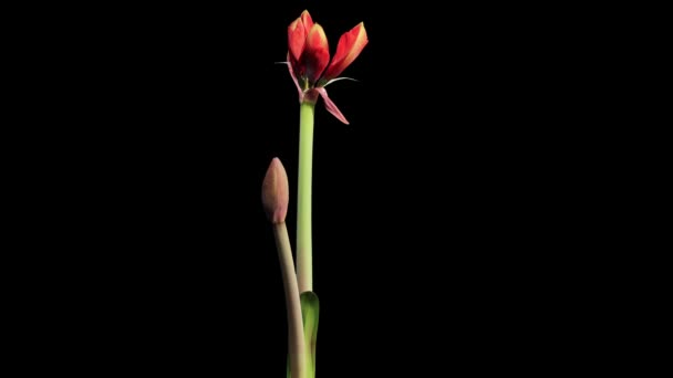 Růst květiny červené hippeastrum pupeny alfa matný, Full Hd. (Hippeastrum Red Lion), timelapse