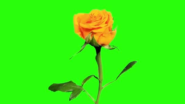 rozkvétají žluté růže poupata zelená obrazovka, full hd. (růže kerio), timelapse