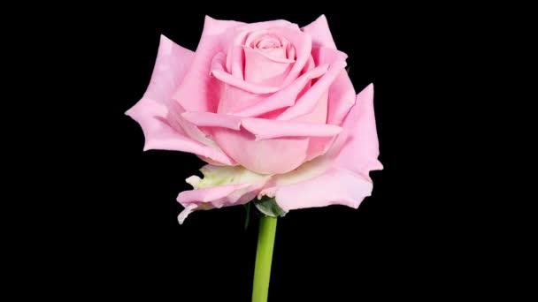 rozkvétají růžové růže poupata alfa matný, full hd. (růže aqua), timelapse