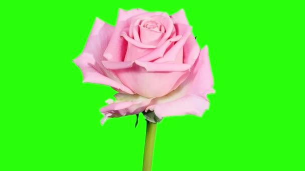 rozkvétají růžové růže poupata zelená obrazovka, full hd. (růže aqua), timelapse