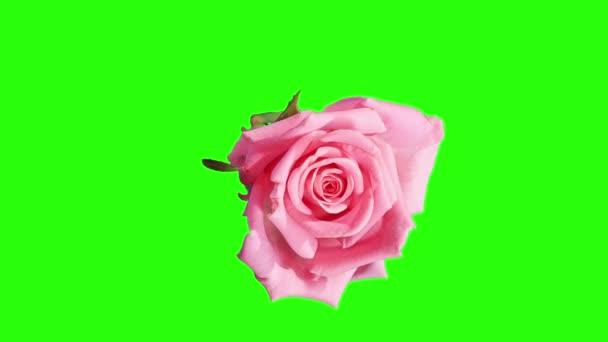 virágzó rózsaszín rózsa zöld bimbó képernyő, teljes hd. (Rózsa aqua), timelapse