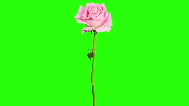 Blooming pink roses flower buds green screen, FULL HD. (Rose Aqua), timelapse