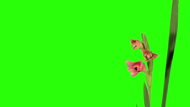 Blooming pink gladiolus flower buds green screen, FULL HD. (Gladiolus Thats Love), timelapse