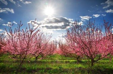 Orchard garden.