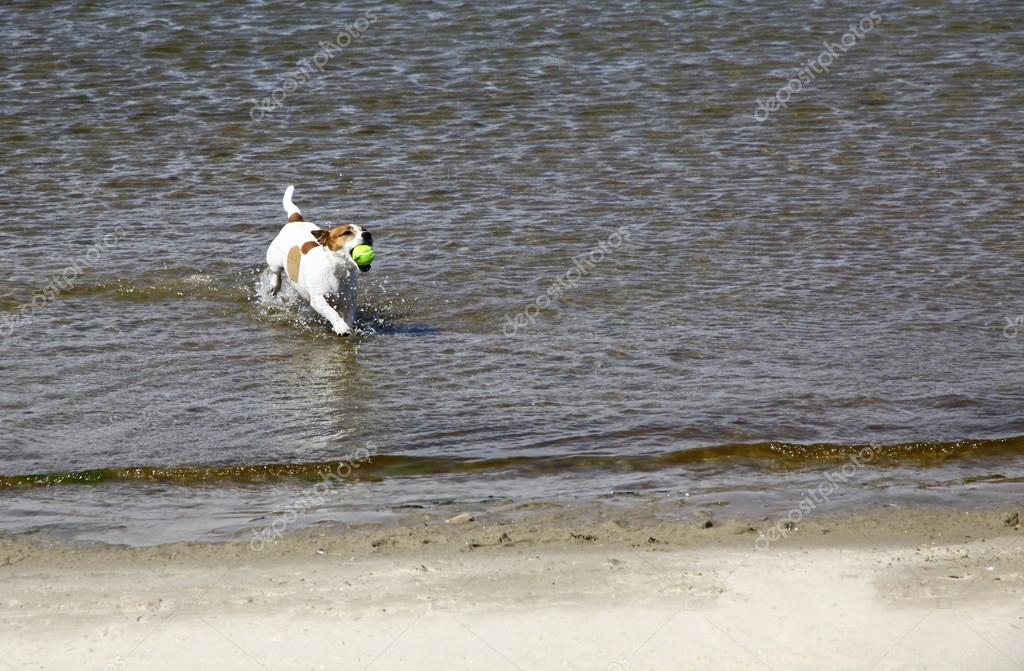 Jack Russell Terrier dog running on the beach