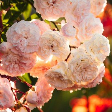 A bush of white roses