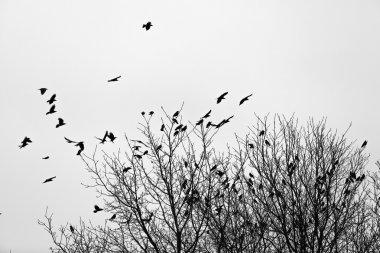 Ravens on the trees