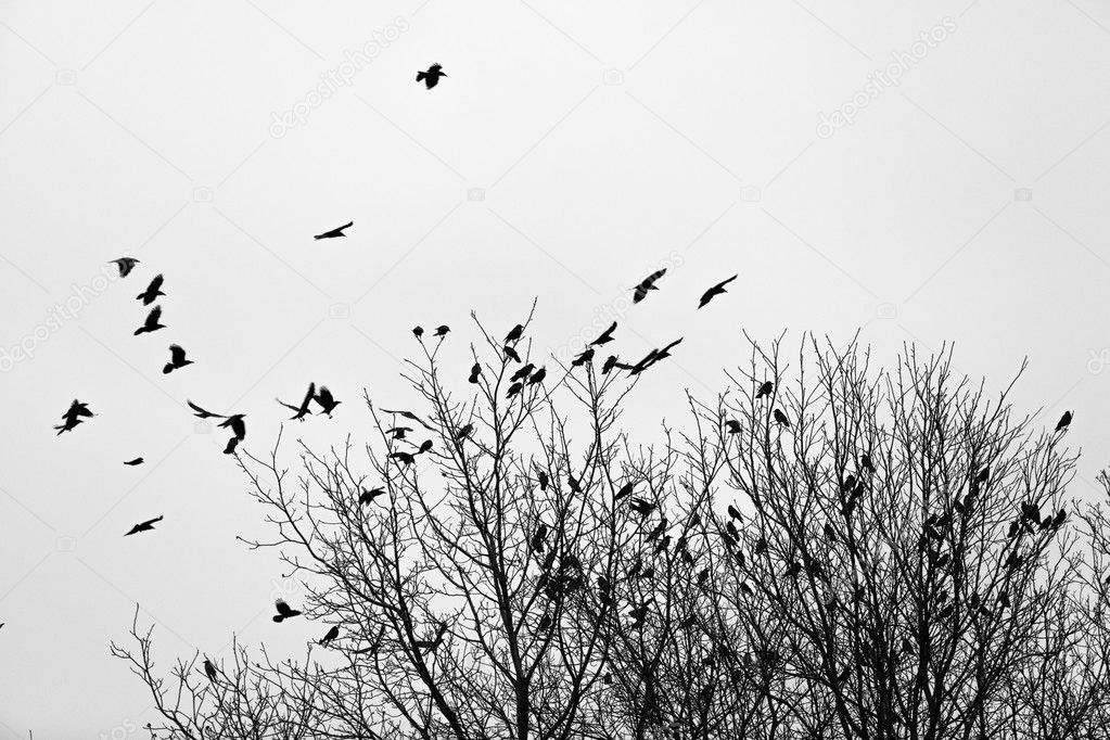 Ravens on the trees