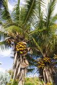 Fotografie kakaové palm