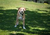Fotografia cane sul prato
