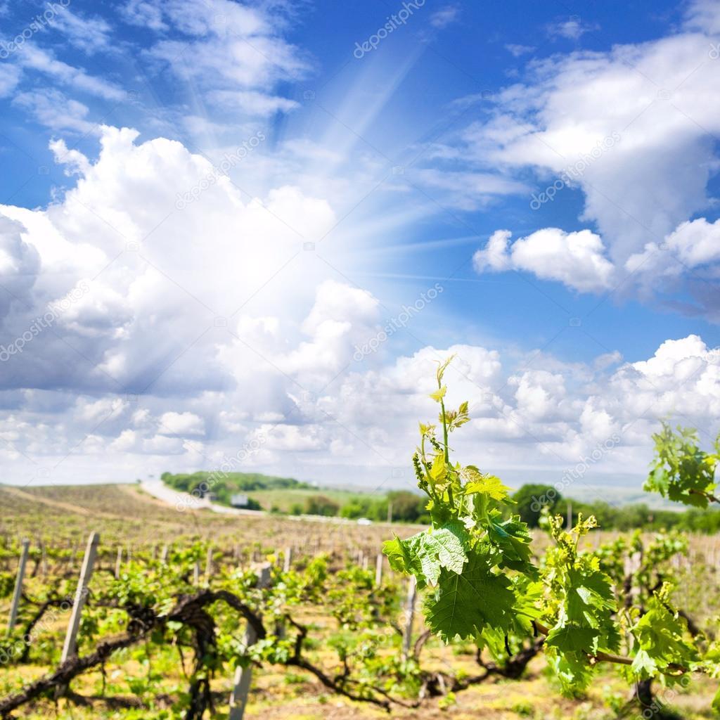 Mountain vineyard landscape