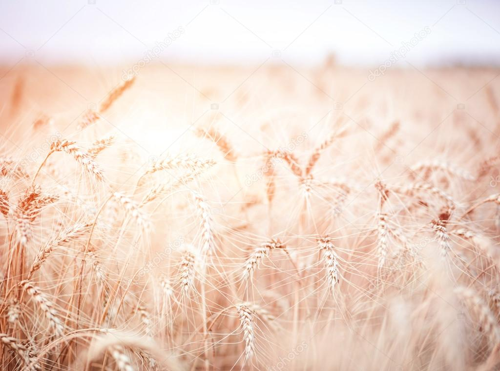 beautiful background of a wheat