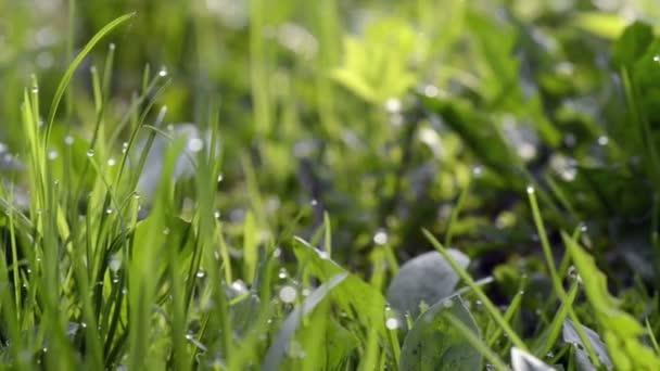 detail Rosy kapky na zelené trávě