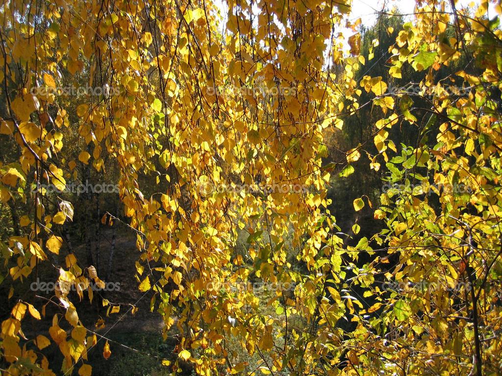 rama del árbol de abedul otoño — Foto de stock © Dink101 #12562613