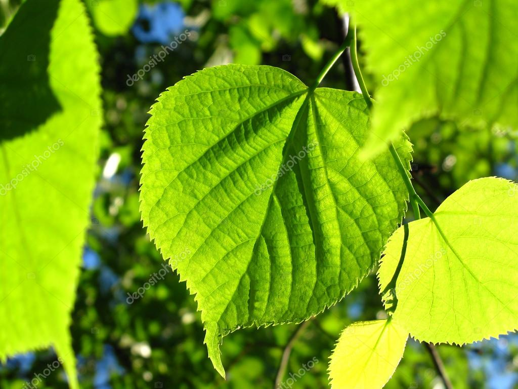 Green foliage of spring tree