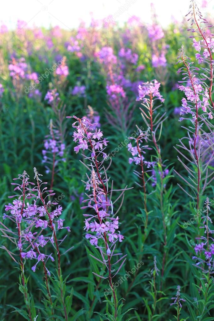 Wild flower Willow-herb in the evening field