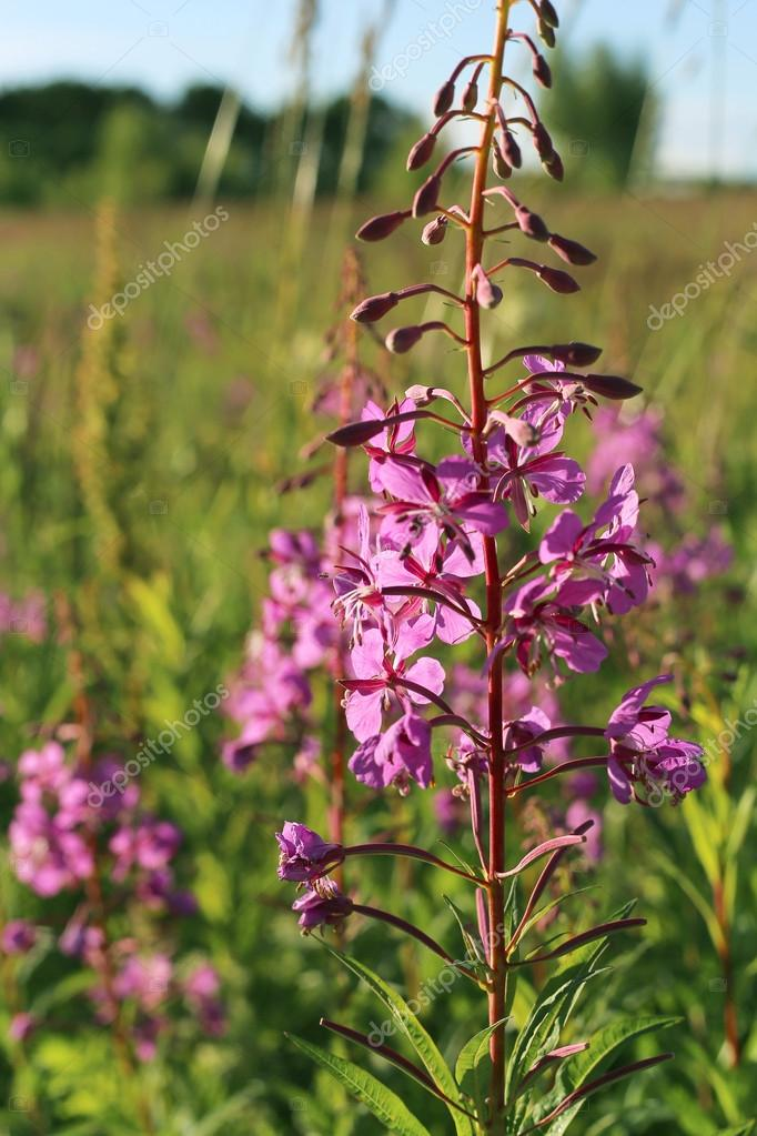 Wild flower of Willow-herb in the evening field