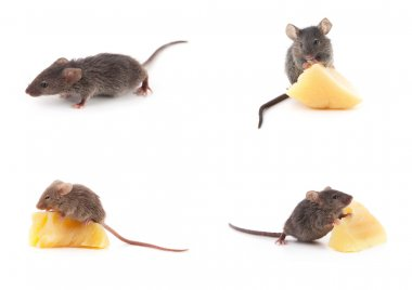 Set of mice, Mouse and cheese on white